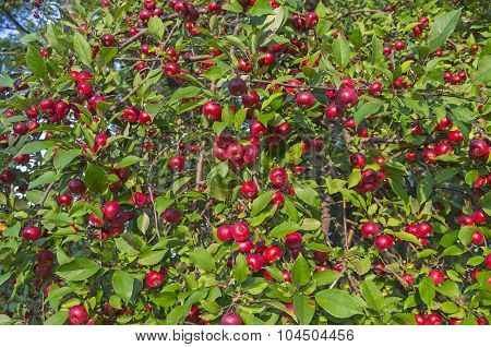 Ripe Red Apples On An Apple Tree