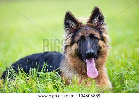 Young dog german shepherd lying on the grass in the park