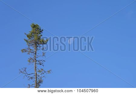 High Spruce Against The Blue Sky With The  Moon.