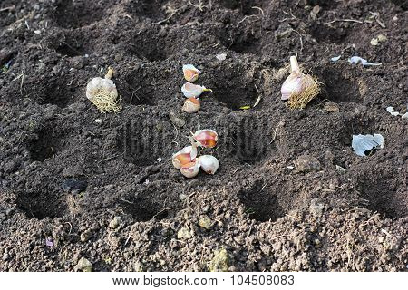 planting garlic for the winter