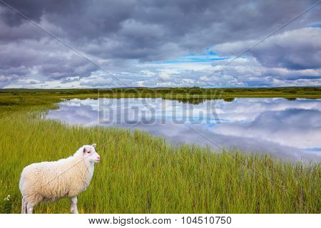 Summer Iceland. Small lake surrounded by green fields. White Icelandic sheep grazing in the meadow