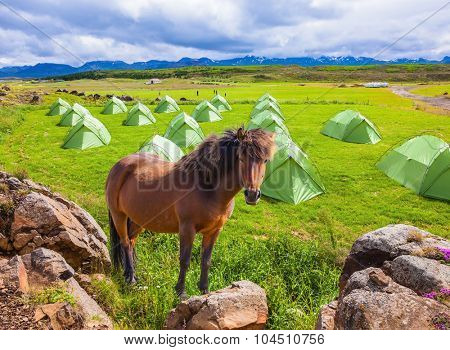 Magnificent Icelandic horse breed stands next to a summer campground.  Summer holidays in Iceland