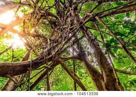 Spiral Circuitous Tree In National Park Forest.