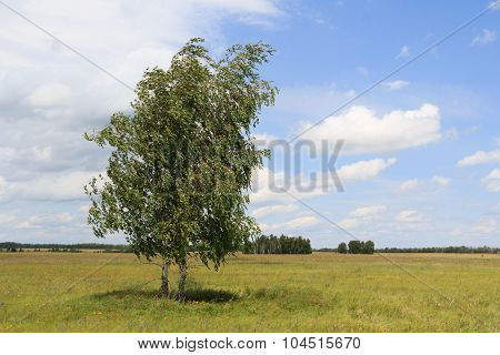 Two Birches Standing In The Field Inclined By A Wind