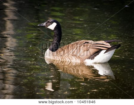 Branta Canadensis Occidentalis, Canada Goose