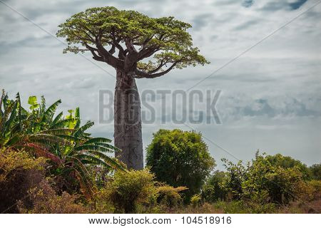 Baobab tree with green leaves among the lush green small trees. Madagascar
