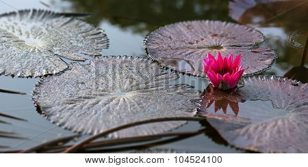 Water lily pink pond tranquil scene Trinidad and Tobago nature