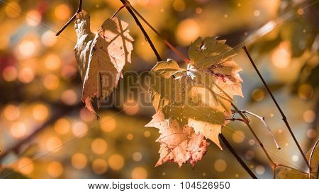Orange Fall or Autumn Wild Grape Leaves.