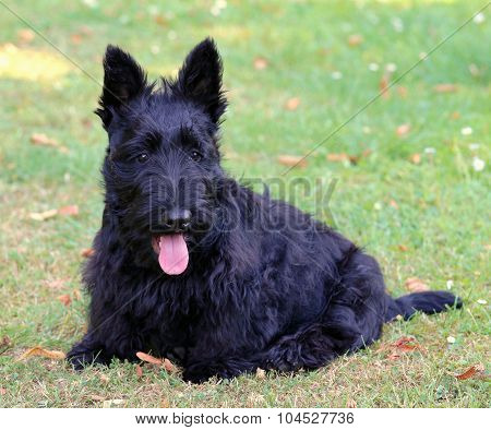 Black Scottish Terrier In The Garden