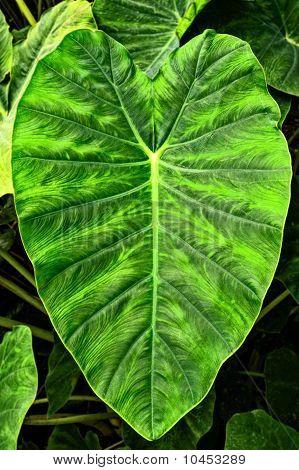 Giant Elephant Ear Taro Leaf -- Alocasia Macrorrhizos (l.) G. Don