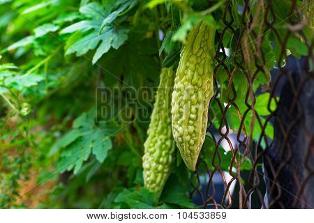 Karela bitter melon caraili against wire fence gardening