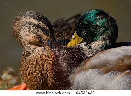 Squabble between Mallard Ducks