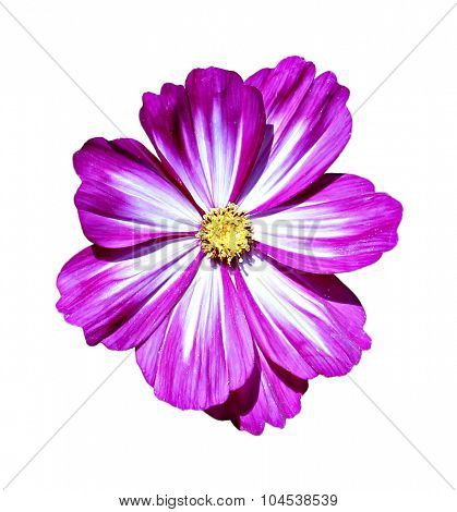 Pink Kosmeya Flowers
