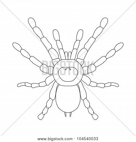tarantula spider Brachypelma smithi, spider female. spider top view. Sketch of spider