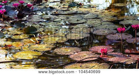 Pink exotic water lilies in tropical pond Tobago dusk sunlight