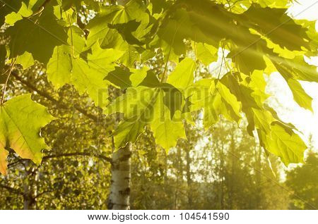 Green Forest In The Sunlight