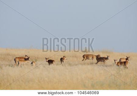 Saiga Antelopes Herd In Morning Steppe