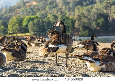 Canada Geese at Del Valle Lake, California