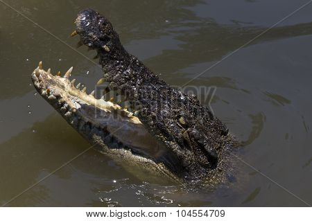Portrait Of A Watchful Looking Young Crocodile