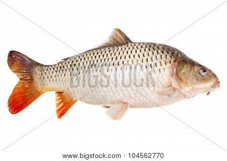 Carp Fish Half-face Isolated On White Background