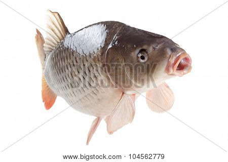 Swimming Carp Fish Isolated On White Background