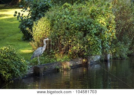 Grey Heron (ardea Cinerea)  At The Lake