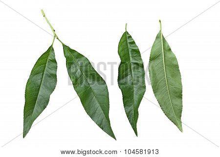 Nectarine Leaf