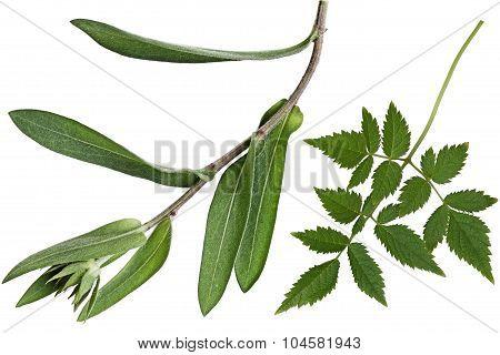 Amethyst And Goblin Leaf
