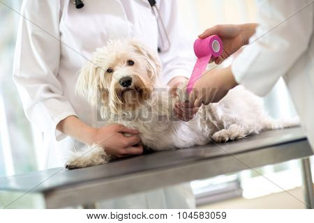 Sad little Maltese dog with broken paw in vet infirmary