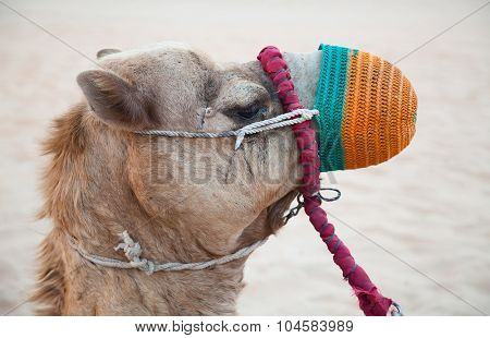 Camel relaxing after crossing sandy
