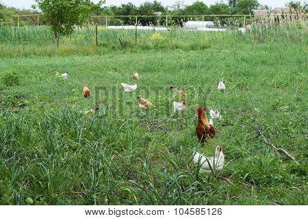 The chickens walking in a kitchen garden.