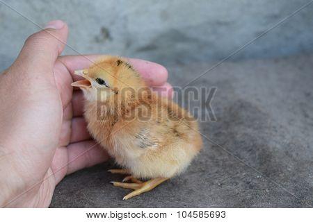 Chicken in a palm