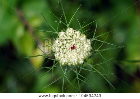 Queen Anne's Lace Opening Up
