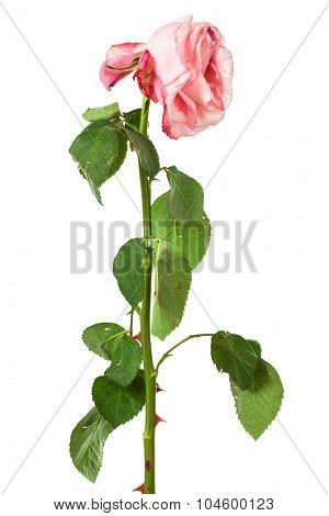 single faded rose on a white background