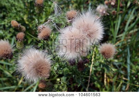 Creeping Thistle Seed Heads