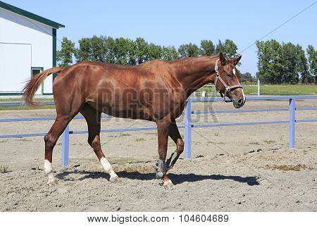 Beautiful filly Trakehner breed