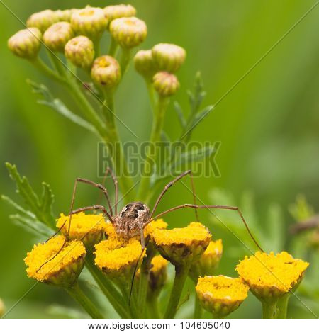Daddy Long Legs On Tansy Flower