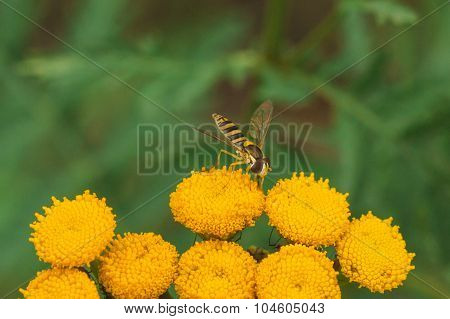 Hoverfly On Tansy Flower