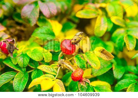 Bush Of Dog-rose With Berries