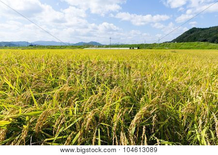 Paddy fields in the autumn