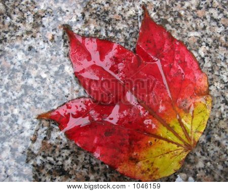 Colorful Fall Leaf In The Rain