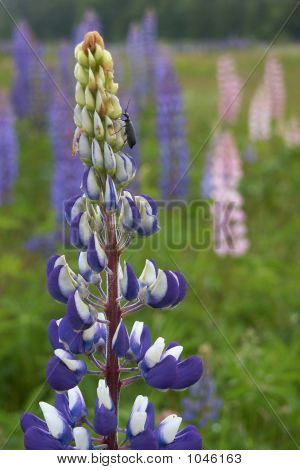 Lupine Climbing Insect