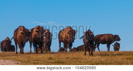 Badlands Bison Walking Towards The Camera Panoramic Horizontal