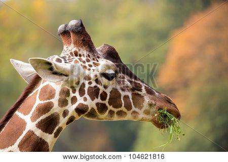 Young Cute Giraffe Grazing