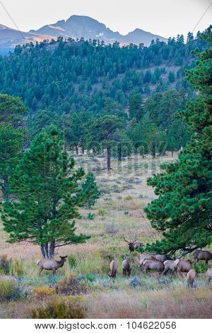 Elk Migration Rocky Mountain National Park