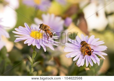 Two Honey bees on blue New York aster