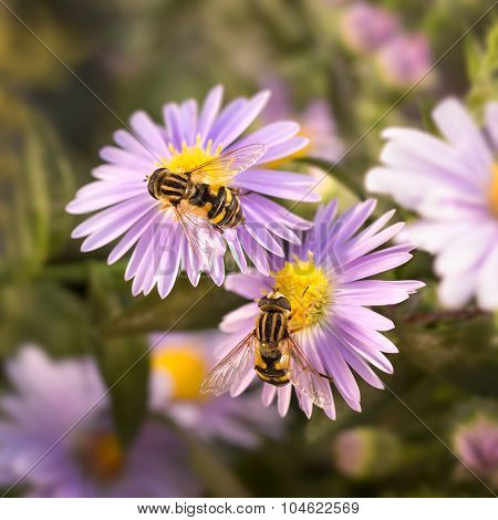 Two flower fly (HoverflyEristalis) drinking nectar from the purple flower.