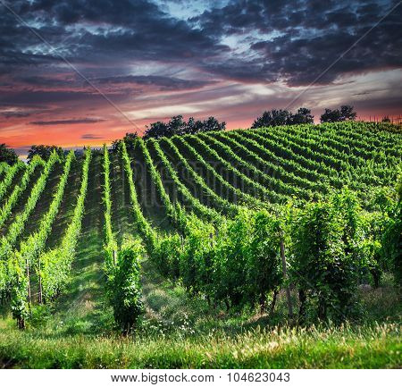 Fields Of Grapes In The Summer, Tuscany.