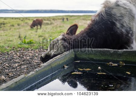Cow Scratching