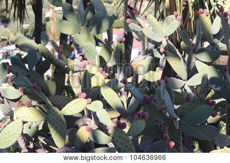 Giant Prickly Pear With Red Fruits